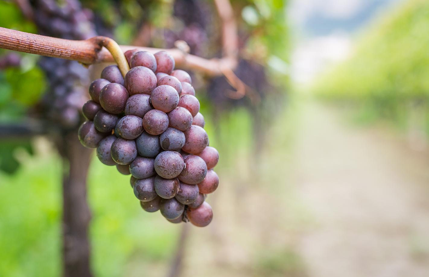 Druer til produktion af rødvin